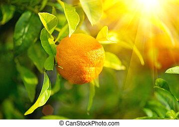Ripe orange or tangerine hanging on a tree