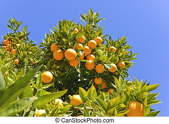 Ripe oranges hanging on a tree