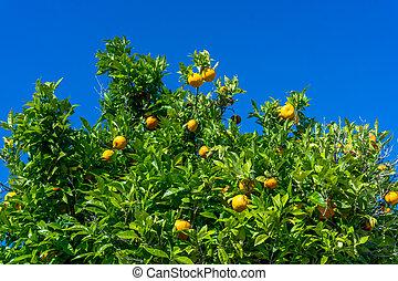 Ripe oranges. oranges on a tree