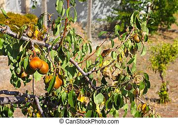 Ripe organic cultivar pears in summer garden