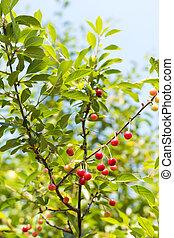 Ripe organic homegrown cherries, tree branch