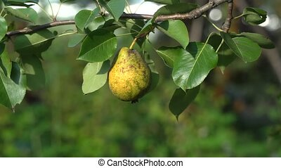 Ripe organic pear on a tree on a windy day, close-up of...