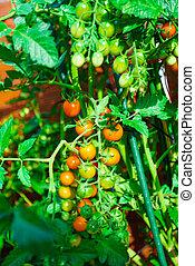 Ripe organic tomatoes in garden