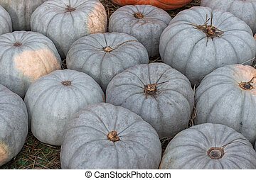 Ripe pale green pumpkins Cucurbita moschata Duchesne Sweetie, background. Harvest festival, bunch of nutmeg pumpkins