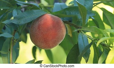 Ripe peach fruit grows on a tree