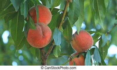 Ripe peaches grow on a tree