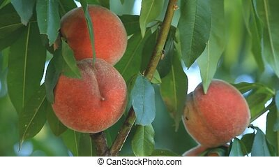 Ripe peaches grow on a tree with leaves