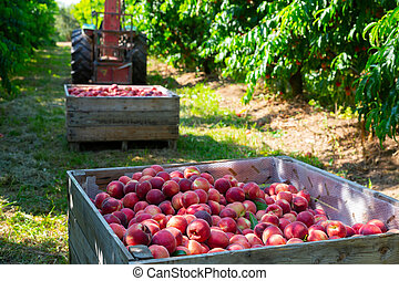 Ripe peaches in a wooden crate in the garden on day