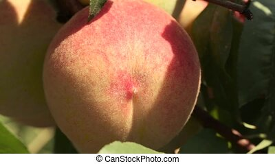 Ripe peaches on a branch close-up - Ripe peaches on a branch...
