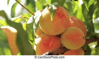 Ripe peaches on a branch in the garden among the leaves