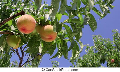 Ripe peaches on the tree branch against blue sky