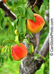 Two juicy red ripe peaches hanging on the tree in an orchard.