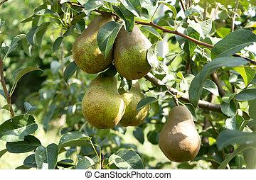 ripe pear fruit on a tree in the green garden