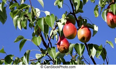 ripe pears - HD1080: The fruits of red ripe pears on a tree...