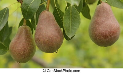 Ripe pears on a branch - Ripe pears on a tree