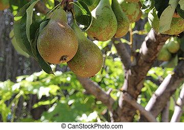ripe pears on the tree