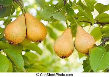 Ripe pears on tree