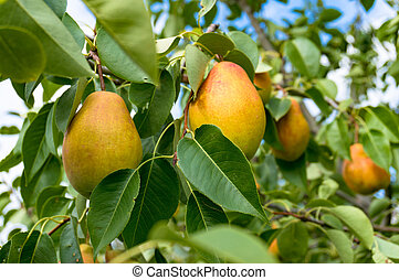 Ripe pears on tree in orchard