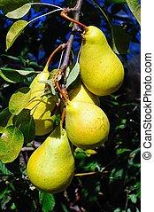 Ripe pears on tree.
