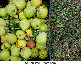 ripe pears place for text