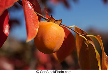 Ripe persimmon fruit on a tree branch.