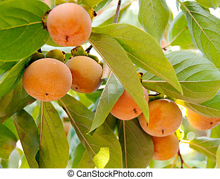 a string of fuyu persimmons hang on a branch
