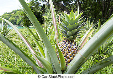 Ripe pineapple plant - A ripe, healthy pineapple plant...