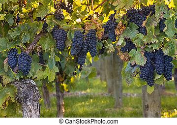 ripe Pinot Noir grapes in vineyard at sunset - closeup of...