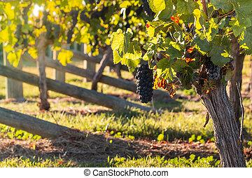 ripe pinot noir grapes in vineyard - closeup of ripe pinot...