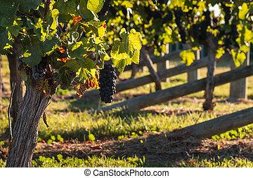 ripe Pinot Noir grapes on vine in vineyard in autumn