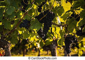 ripe pinot noir grapes - closeup of ripe pinot noir grapes
