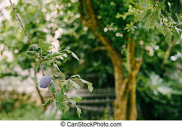 Ripe plum hangs on a tree branch in the yard against a background of green foliage.