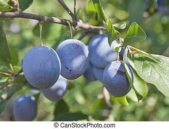 Ripe plums on a branch closeup