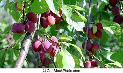 ripe plums on a branch in a garden .