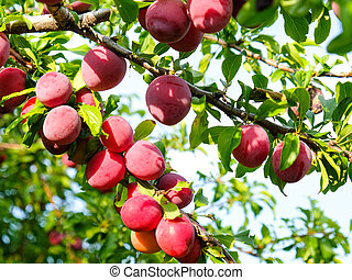 Ripe plums on a branch in the garden