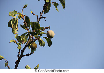ripe plums on a branch of a plum tree