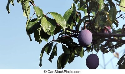 Ripe plums on a branch close to  Loop ready File