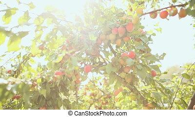 Ripe plums on a tree in sun beams