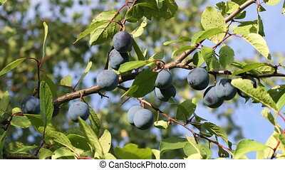 Ripe Plums on branch - Branch with ripe plums in the orchard...