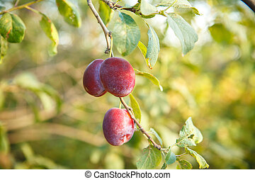 Ripe plums on the tree branch