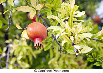 Ripe pomegranate fruit hanging on a branch