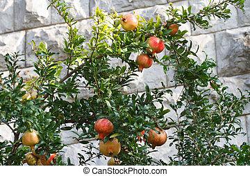 Ripe pomegranate fruit on a branch
