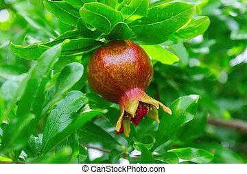 Ripe pomegranate fruit on a tree branch