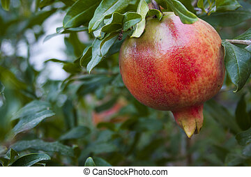 Ripe pomegranate fruit on a tree branch in the garden.