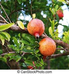 Ripe Pomegranate fruit on the tree