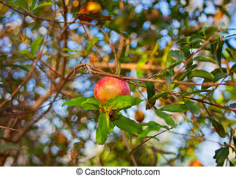 Ripe pomegranate fruits hanging on a tree branch in the garden.