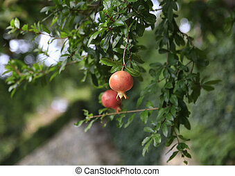 Ripe pomegranate fruits hanging on a tree branches