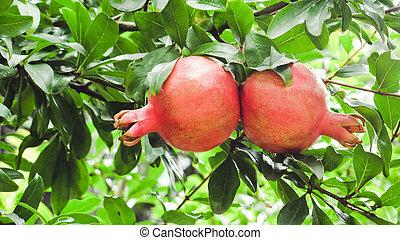 Ripe pomegranate fruits on tree branch