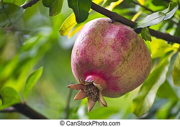 Ripe pomegranate on the branch