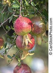 ripe pomegranate on tree